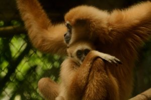Shameful selfies: The sad truth behind those cute gibbon pics